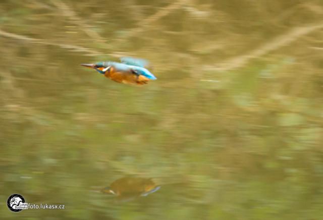 Ledňáček říční v letu Fotograf Lukáš Budínský