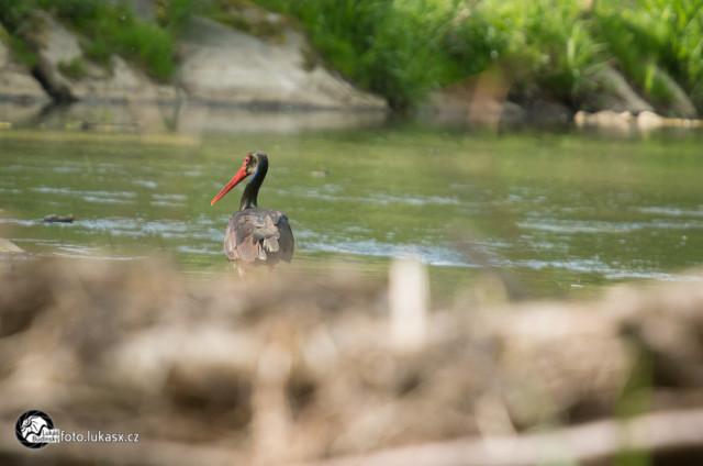 Čáp černý v řece Fotograf Lukáš Budínský
